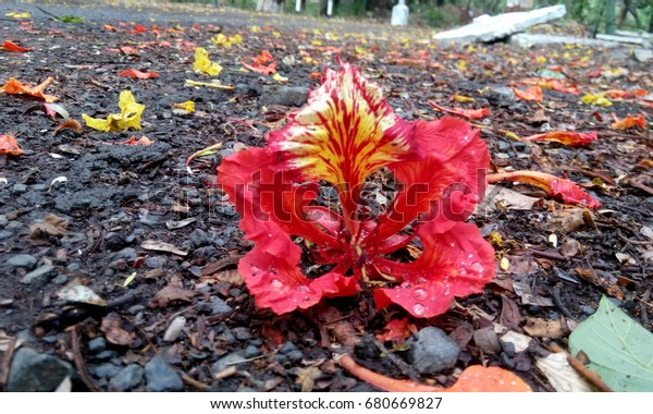 Gulmohar Flower Hindi Urdu Gul Means Stock Photo (Edit Now