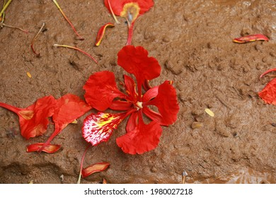 Gulmohar flower in mud background. A gulmohar tree is an ornamental tree that is scientifically called Delonix regia. The Gulmohar tree, also known as Flamboyant tree, is a bright red flower