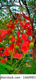 Gulmohar flower picture capture in close up shot