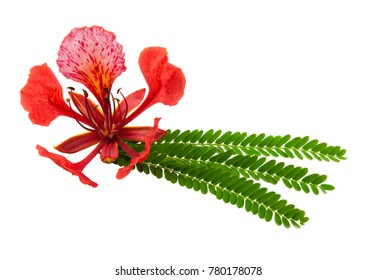 Gulmohar flower in white background. A gulmohar tree is an ornamental tree that is scientifically called Delonix regia. The Gulmohar tree, also known as Flamboyant tree, is a bright red flower.