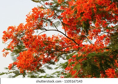 Gulmohar Flowers, Delonix regia in Bloom in Gurgaon, India