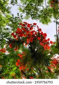 Gulmohar flowers also know as royal Poinciana