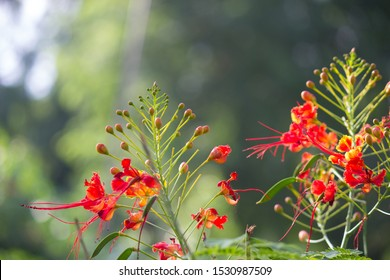 Gulmohar flowers seen in a soft green blurry bokeh background
