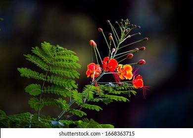 Gulmohar flowers seen in a soft green blurry bokeh background