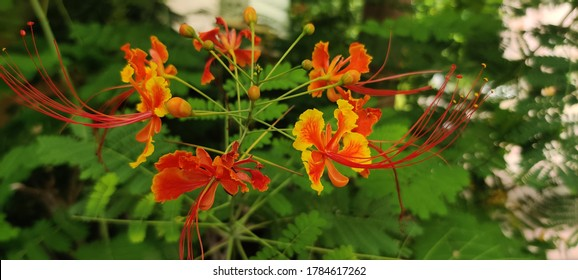 Gulmohar is an ornament plant also known as flame tree. Gulmohar is well known for its beautiful flowers.