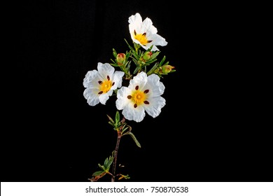 Gum Rockrose - Cistus Ladanifer in the fields of Alentejo Portugal