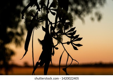 Gum tree flowers and leaves with sunset silhouette