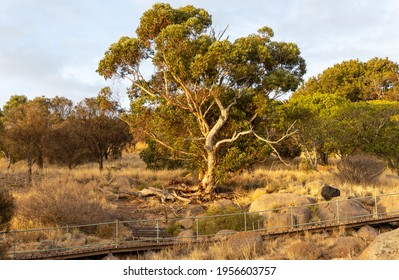 A gum tree glowing with the morning sun at sunrise in victor harbor south australia on April 12th 2021