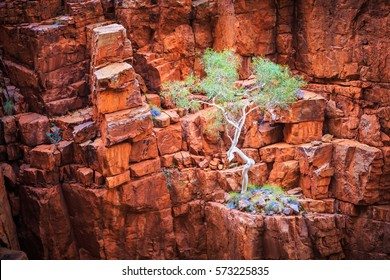 A gum tree growing perched on a rugged cliff face of red rock in central Australia