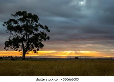 Gum Tree at Sunset, Diggers Rest, Victoria, Australia, January 2017