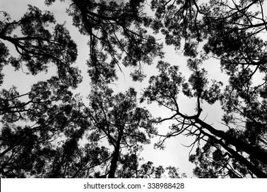 Gum Trees Against Sky Background