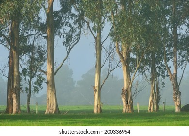 Gum trees along fence line on a foggy morning