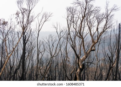 Gum trees burnt in the bushfires in The Blue Mountains in Australia