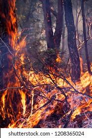 Gum Trees on Fire in the Denmakr, Albany region of South West Australia