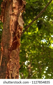 The gumbo-limbo is comically referred to as the tourist tree because the tree's bark is red and peeling, like the skin of sunburnt tourists, who are a common sight in the plant's range