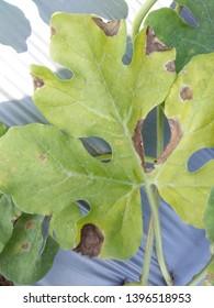 Gummy Stem Blight causal agent Didymella bryoniae water melon disease