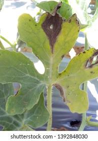 gummy stem blight causal agents Didymella bryoneae water melon disease