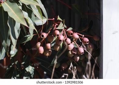 Gumnut and gum tree leaves