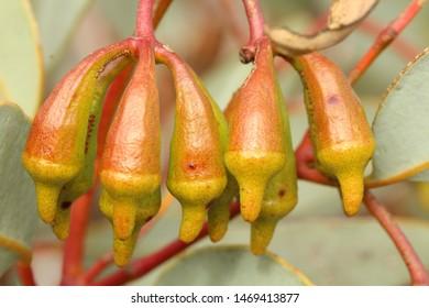 Gumnuts Eucalyptus Torquata Urn Shaped Buds