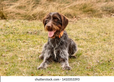 Gun dog waiting for command of her owner. Training with bohemian wire dog in wild. Czech pointer must react immediately after sound of the signal.