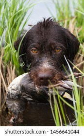 the gundog carries the duck in its teeth out of the water through the sedge thickets during hunting