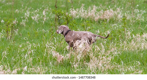gundog (hungarian vyzhla) froze in a meadow finding game while field trial