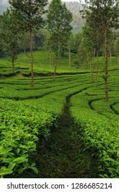 Gunung Mas tea plantation, Puncak, West Java, Indonesia.
