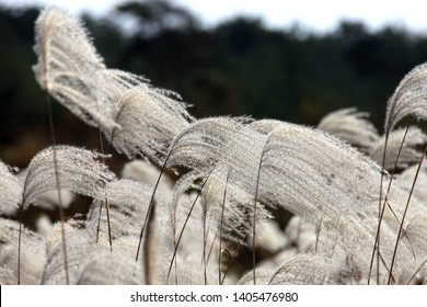 Gunwigun Maesung-ri Gyeongsangbuk-do Korea, October 28, 2011. To enjoy watching the silver grass flutter in the wind.