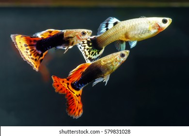 Leadership in the genes of guppies | SciTech Europa | 280x390