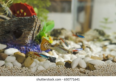 Guppy fish and neon Tetra Paracheirodon in aquarium
