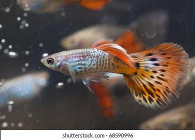 guppy fishes in aquarium