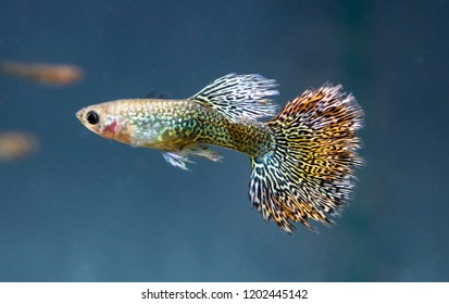Guppy (Poecilia reticulata), also known as rainbow fish, is one of the world's most widely distributed tropical fish