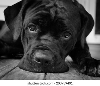 Gurdy on Porch - A black and white pet portrait of a Cane Corso puppy.
