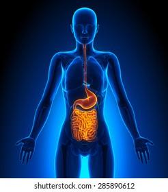 Guts - Female Organs Human Anatomy