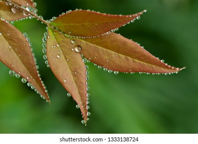 Guttation in leaves of Nandina. Guttation occurs when leaves can't transpire adequately and moisture builds up within the leaves. Excess moisture is exuded through pores at the edges of the leaves.