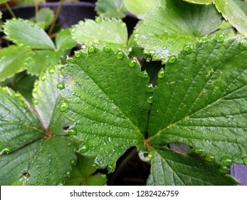 Guttation on strawberry leaf is the exudation of drops of xylem sap on the tips or edges of leaves of some vascular plants