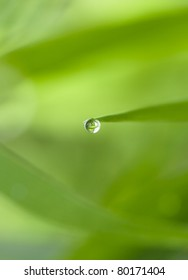 Guttation - Water Droplet Secretion on the Edge of Leaf of Some plants