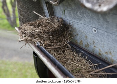 Gutter needs cleaning: bird nest clogged the gutter. The bird gave up nesting as the nest was overflown with water.
