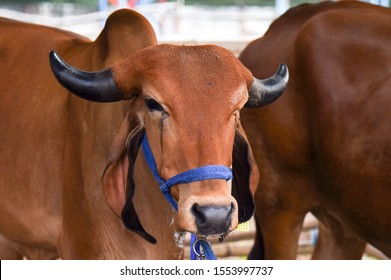 Guwahati, Assam, India. 8 November 2019. Gir Cow during National Livestock and Poultry Show in Guwahati.