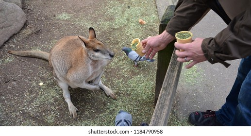 A guy feeding yellow-footed Rock-wallaby with dry grass. The largest of the Rock-wallabies, Yellow-footed Rock-wallabies are one of the most brilliantly-coloured rock-wallabies.