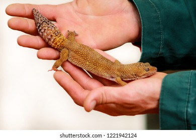 Guy with gecko. Man holds in hands reptile gecko. Common leopard gecko. Exotic tropical cold-blooded animals, zoo. Male hands is holding common dragoon.