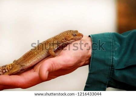 Guy Gecko Man Holds Hands Reptile Stock Photo Edit Now 1216433044