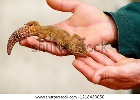 Guy Gecko Man Holds Hands Reptile Stock Photo Edit Now 1216433050