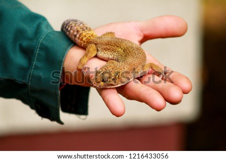 Guy Gecko Man Holds Hands Reptile Stock Photo Edit Now 1216433056