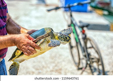 The guy gets caught up to clean the mussels above the loggerhead sea turtle shell. Loggerhead sea turtles observed in captivity and in the wild are most active during the day.