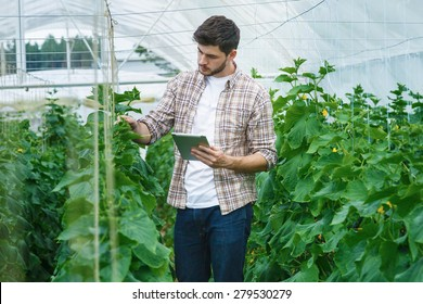 Guy with the tablet slowly inspect plants. Young agronomists monitor the harvest. Young farmers are grown and harvested organic vegetables.