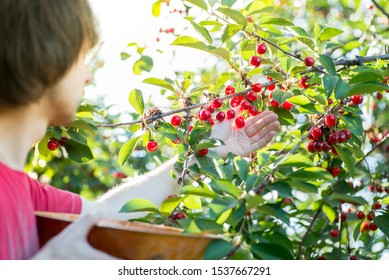 guy tears ripe red cherries from the tree to the basket. Cherry Harvest