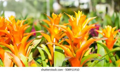 Guzmania flowers or Bromeliads flowers in the garden
