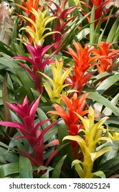 Guzmania Insignis. Guzmania is a genus of over 120 species of flowering plants in the family Bromeliaceae.