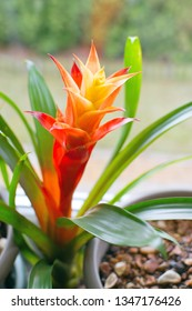 Guzmania lingulata (droophead tufted airplant or scarlet star) growing in flower pot on window sill